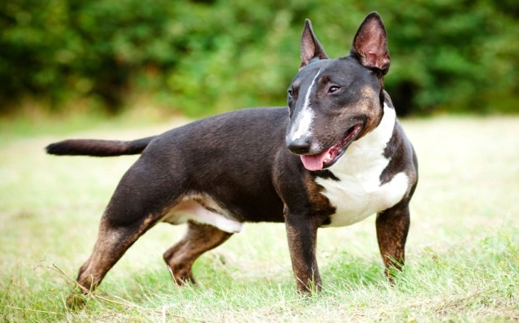 Bull Terrier Dog Breed Temperament and Personality