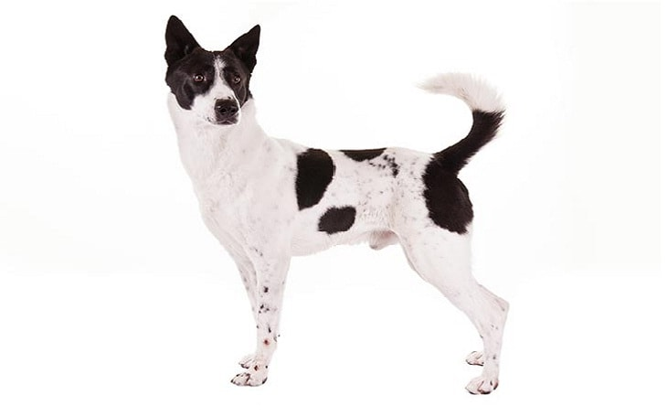 Canaan Dog Behavior