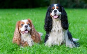Cavalier King Charles Spaniel Behavior.