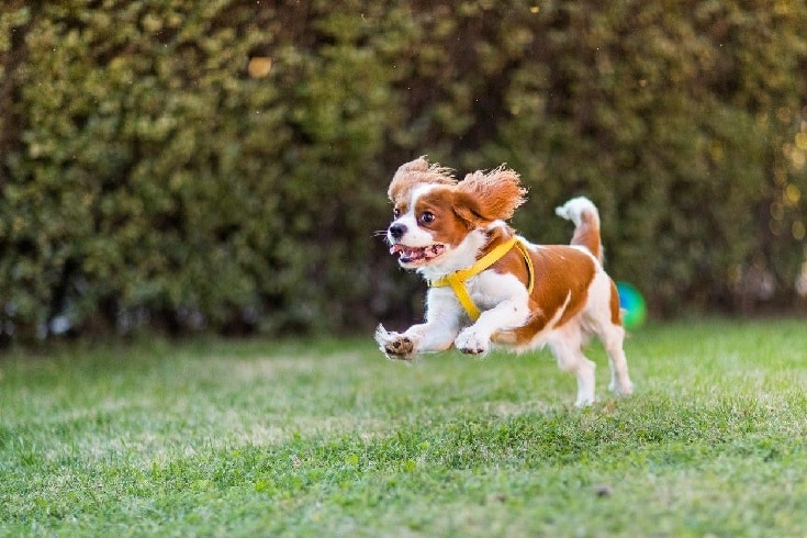 Cavalier King Charles Spaniel Running In The Field.
