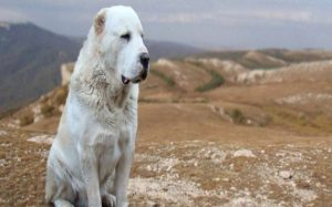 Central Asian Shepherd Are Large Sized Dogs