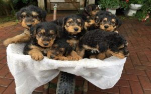 Characteristics of Airedale Terrier Puppies.