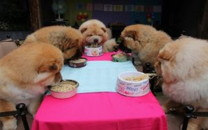 A gorup of Chow Chow Dogs Eating in a Table
