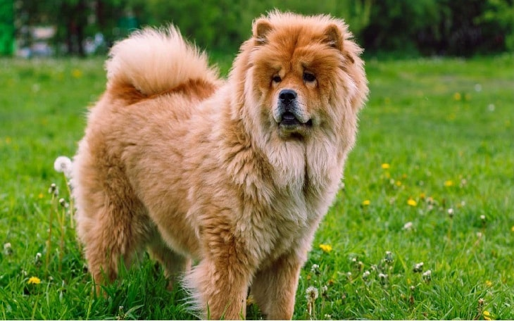 Chow Chow Standing on the Field