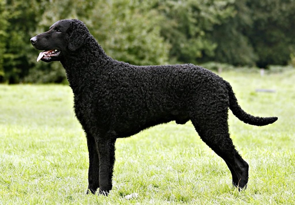 Curly-Coated Retriever are large sized dogs