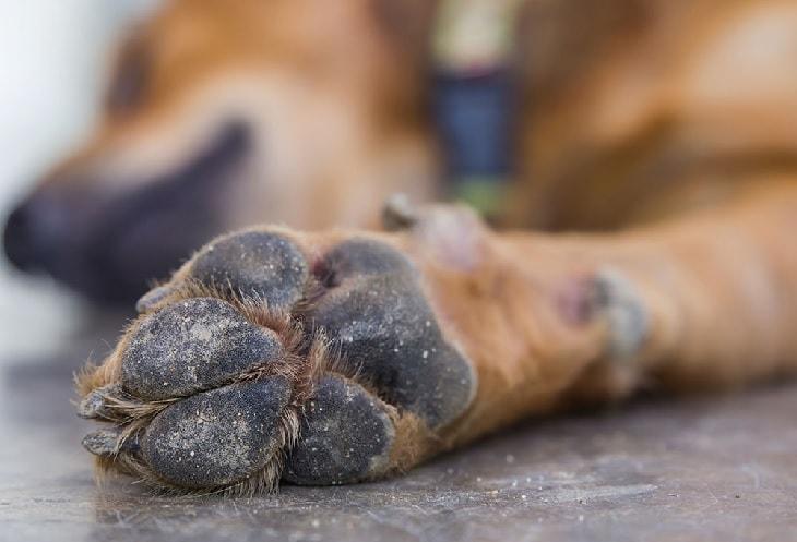 Dandruff In Dog's Paw.