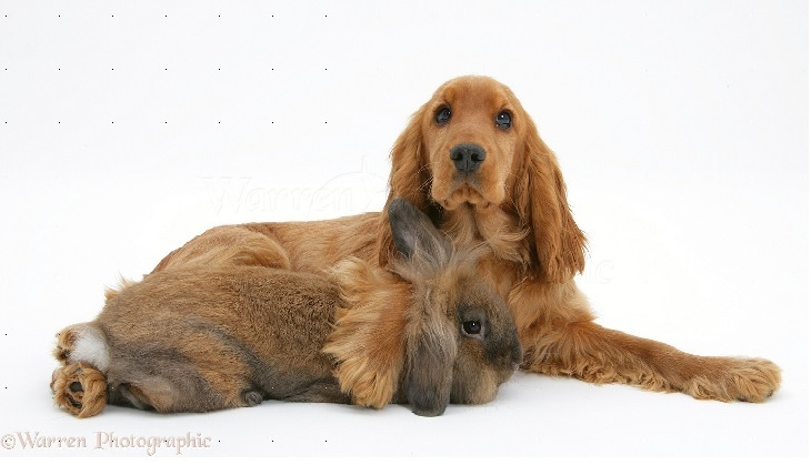 English Cocker Spaniel  Playing WIth Rabbit