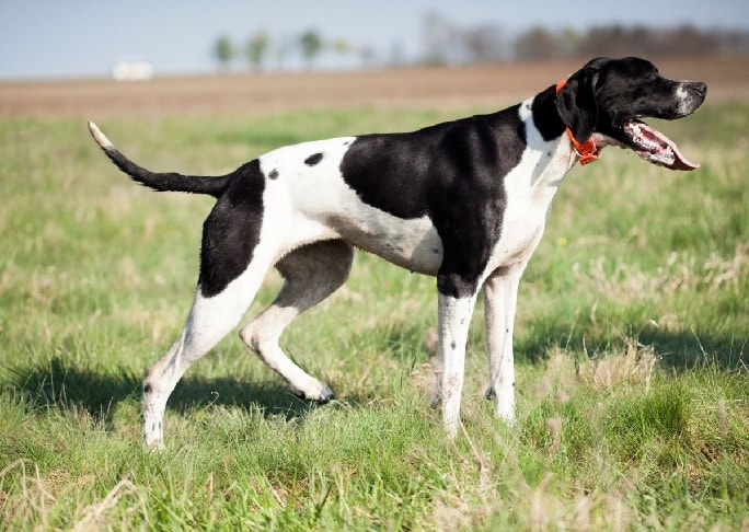 English Pointer Dog In The Field.