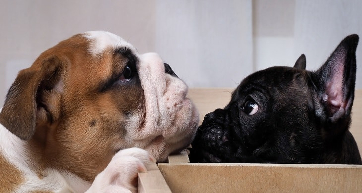 French Bulldog And English Bulldog