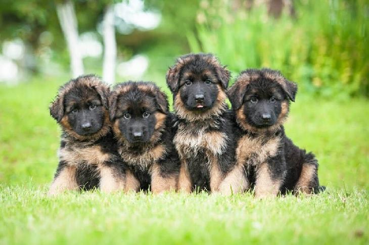 German Shepherd's Litter Mates.
