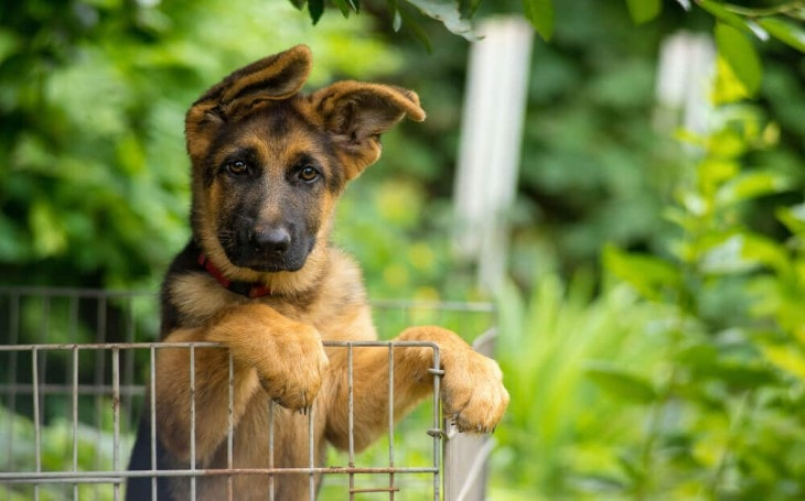 German Shepherd Puppy Looking.