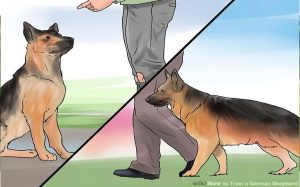 German Shepherd training by owner.