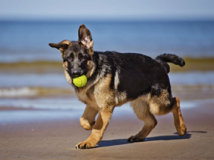 GSD playing with a ball