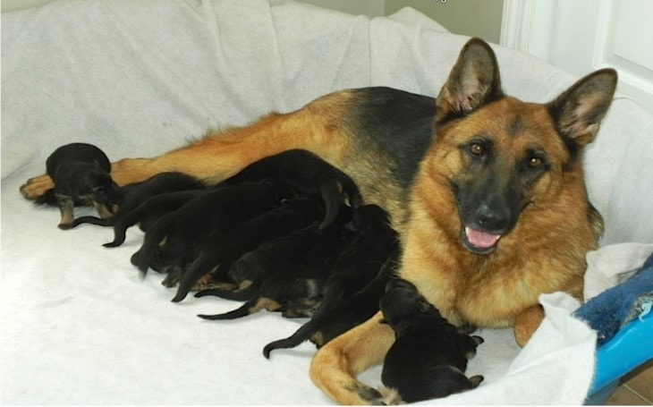German Shepherd gives birth to a rare green Puppy.