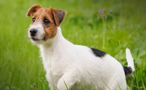 Jack Russell Terrier Standing