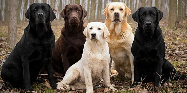 5 different color Labrador sitting together.