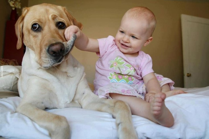 A Labrador doesn't mind by the pressing of babies.