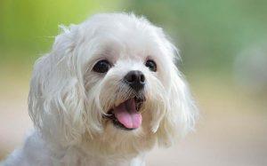 Behavior of Maltese Dogs.