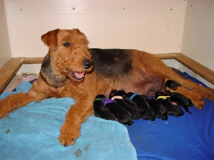 Newborn Airedale Terrier Puppies with their mother.