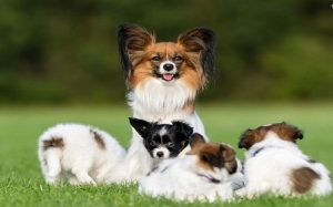 Papillon Sitting with Her Puppies