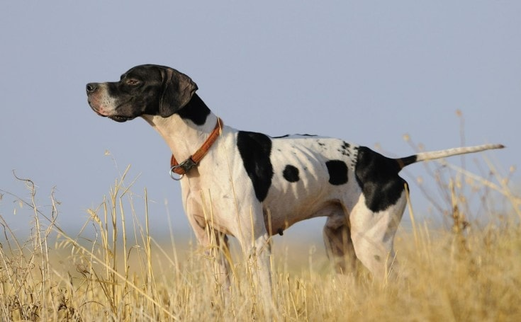 Pointer dog are runner dogs used for hunting.