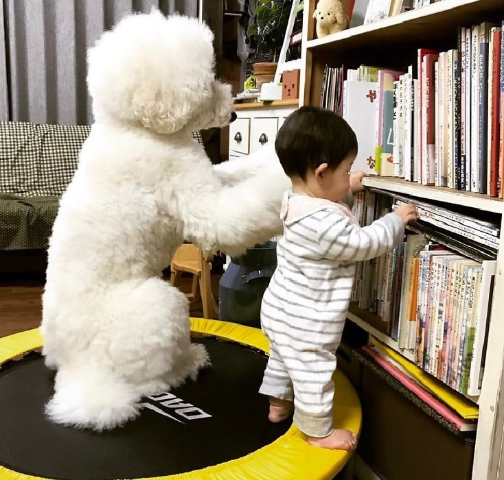 A Poodle Dog Playing With child.
