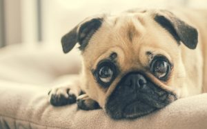 Pugs are very needy dogs.