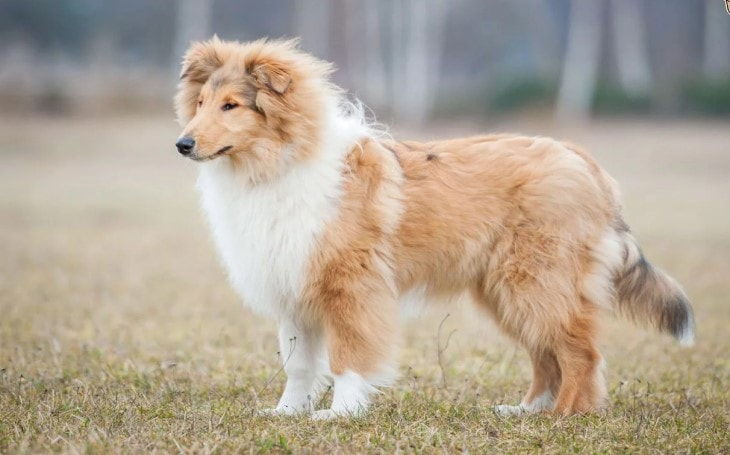 Behavior of Rough Collie Dogs.