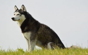 Siberian Husky stting in wind.