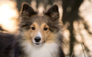 Sheltie Dogs are very playful and child friendly.