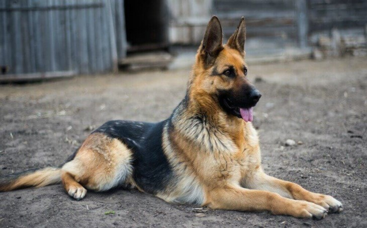 German Shepherd Guarding a Home.