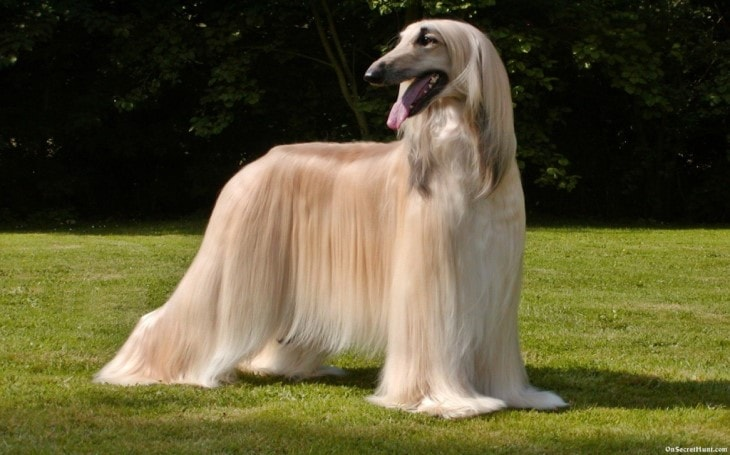 Strategies to train Afghan Hound.