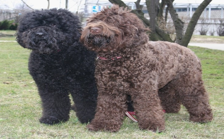 Barbet are also known as water dogs