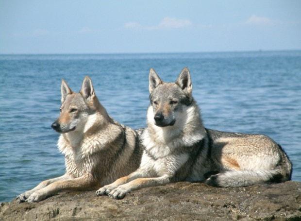 Czechoslovakian Are Very Agreessive Dogs