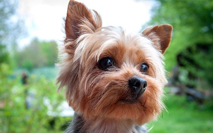 Yoekshire Terrier looking cute.