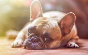 Otitis Media in dog