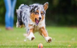 australian shepherd dog, australian shepherd personality, shepherd health issues