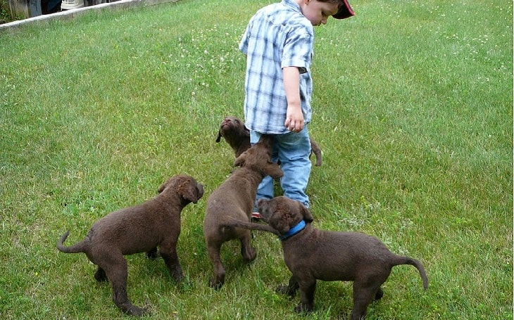 origin and history of chesapeake bay retriever