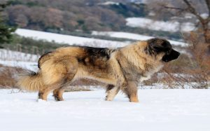 Caucasian are giant dogs