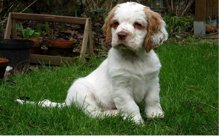 clumber spaniel personality, clumber origin, clumber facts, clumber health issues