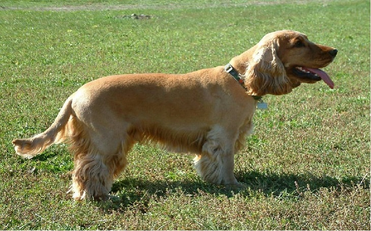personality of cocker spaniel, health issues of cocker spaniel, origin of cocker spaniel, facts of cocker spaniel