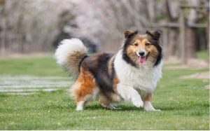 health issues of collie dog, personality of collie dog, facts of collie dog, origin of collie dog
