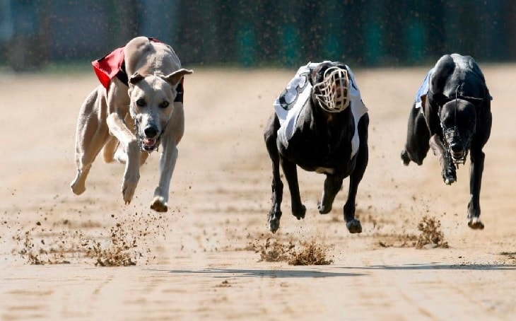 Grayhound Are Good Racers