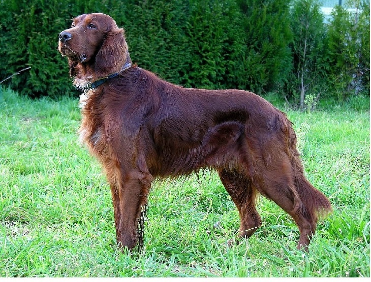 Irish Setter Known As Gun Dog's