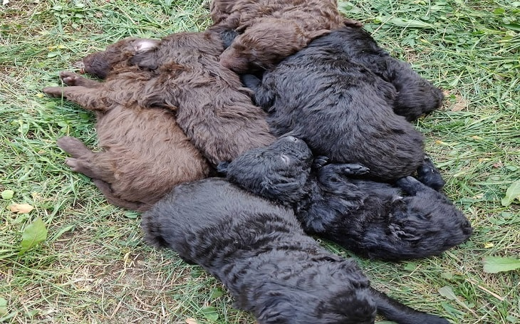 developmental stages of Mudi puppies