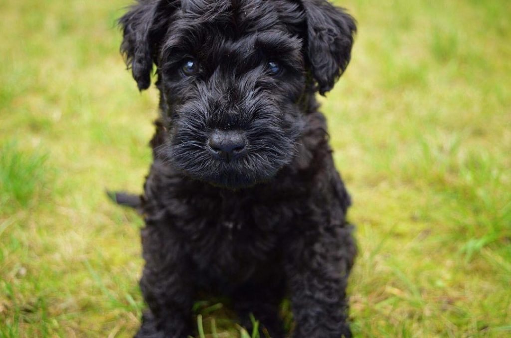 Kerry Blue Terrier Puppy developmental stages