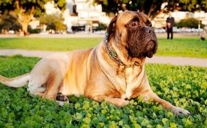 Bullmastiff loves peace