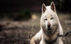 Cute Hokkaido Dog..