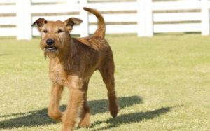 Airedales Terrier Have A Tendency Of Excess Barking