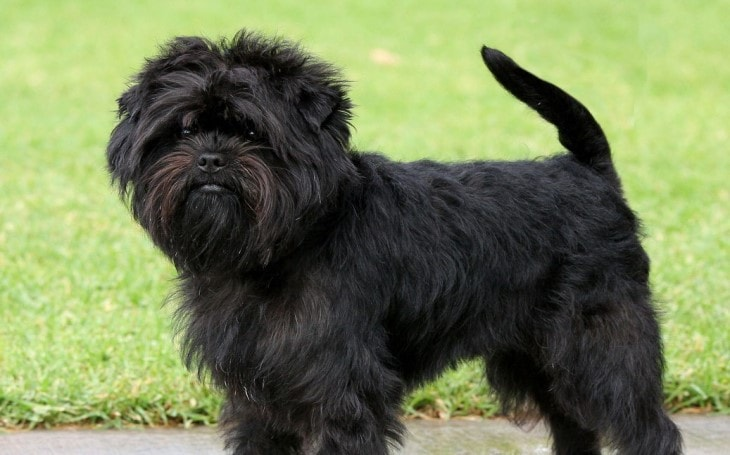 Affenpinscher Are Known As Toy Breed